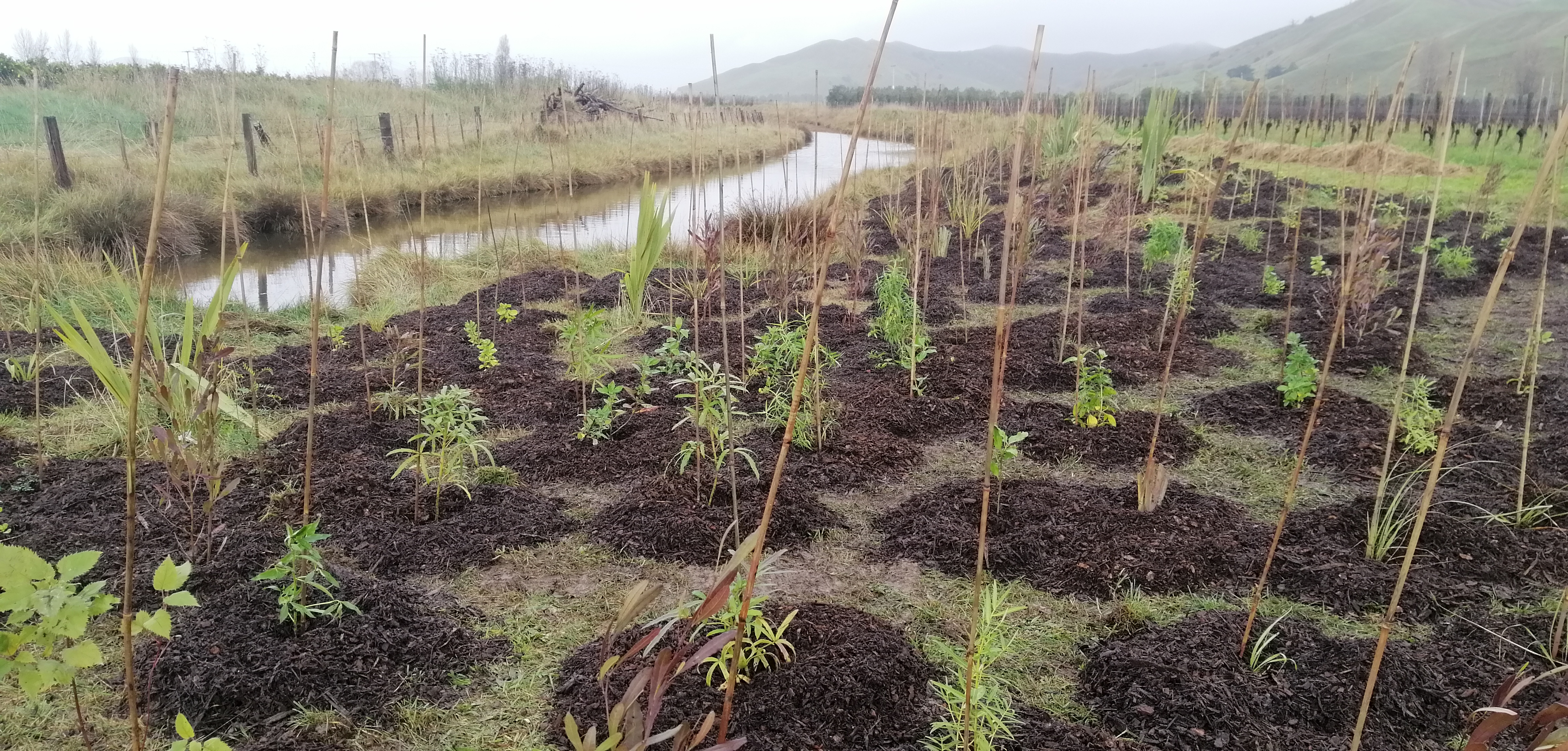 Native Planting Salt Marsh Reserve